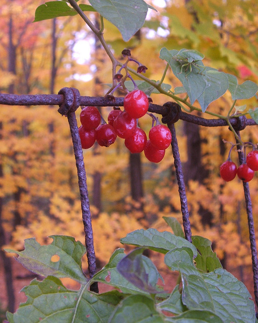 Autumn berries with bug by Aunt Owwee on Flickr