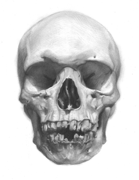 Skull Study, Portrait Anatomicae, drawing by David Jon Kassan