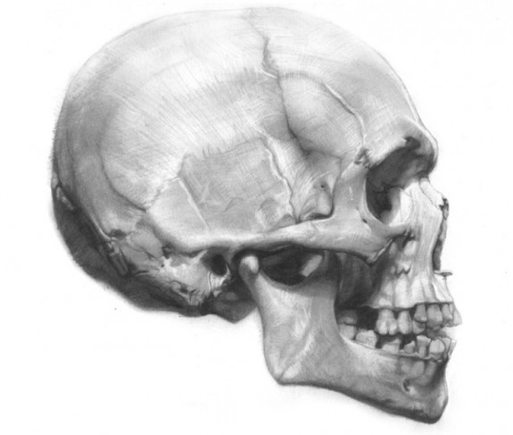 Skull Study(2), Portrait Anatomicae, drawing by David Jon Kassan